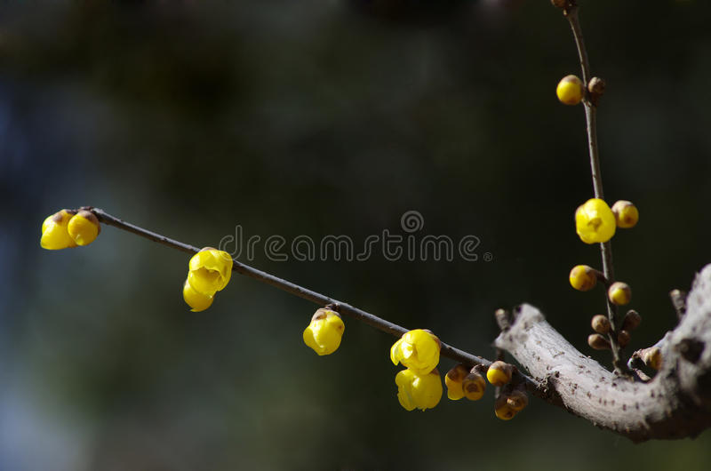 Wintersweet flower royalty free stock photography