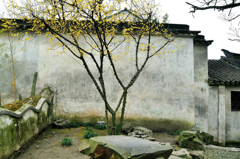 Wintersweet in Humble Administrator's Garden royalty free stock images