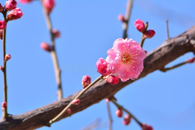 Wintersweet kwiat fotografia stock
