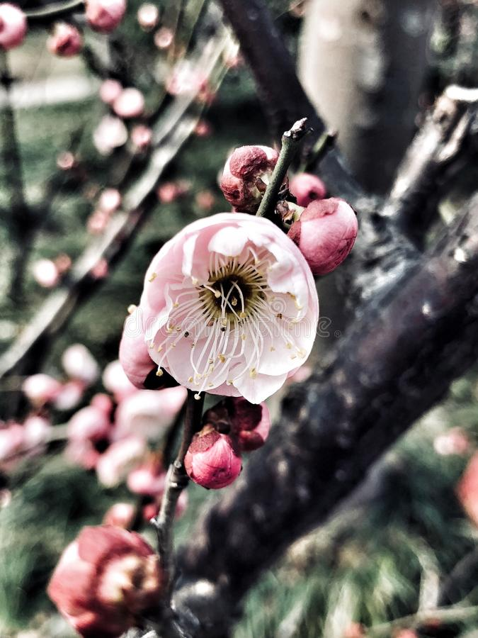 Wintersweet. Pink wintersweet bloomed after snow-day royalty free stock image