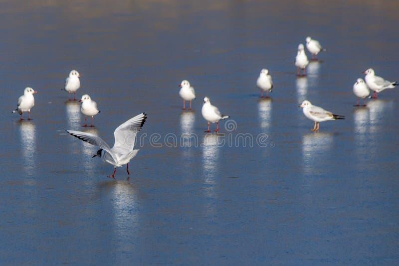 Winterszene mit den wilden Seemöwenvögeln, die auf einem gefrorenen See landen lizenzfreie stockbilder
