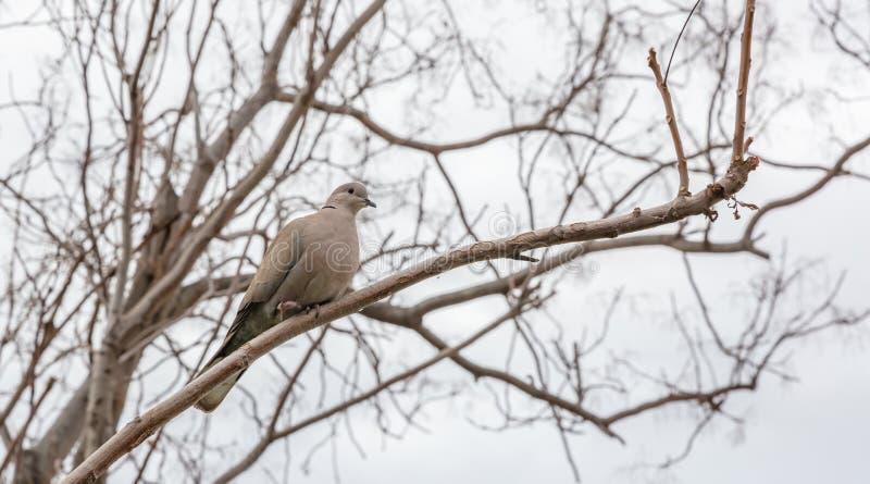 Wintertijd Een grijze zitting van de duifvogel alleen op een nr-tak van de bladboom stock afbeelding