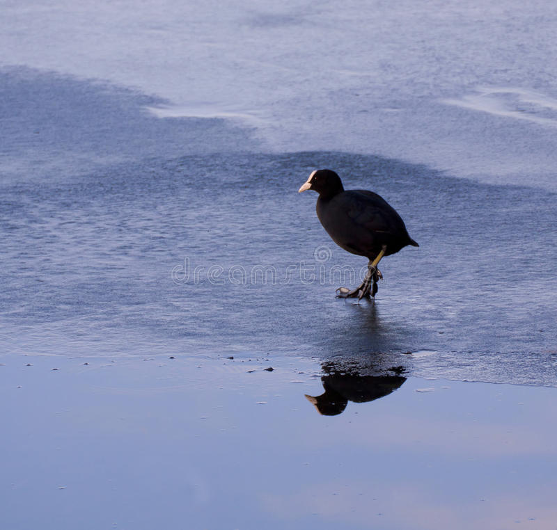 Wintertime, dzika kaczka na lukrowej jezioro powierzchni z nieba odbiciem o obraz royalty free