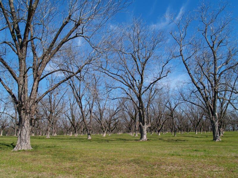 Wintertime Pecan Grove stock images