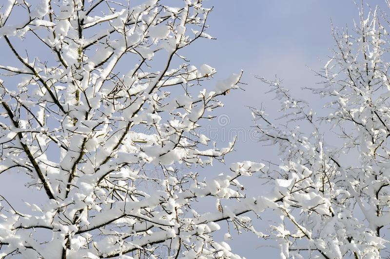 Wintertime of tree branches covered with snow. In sunlight and blue sky in background stock images