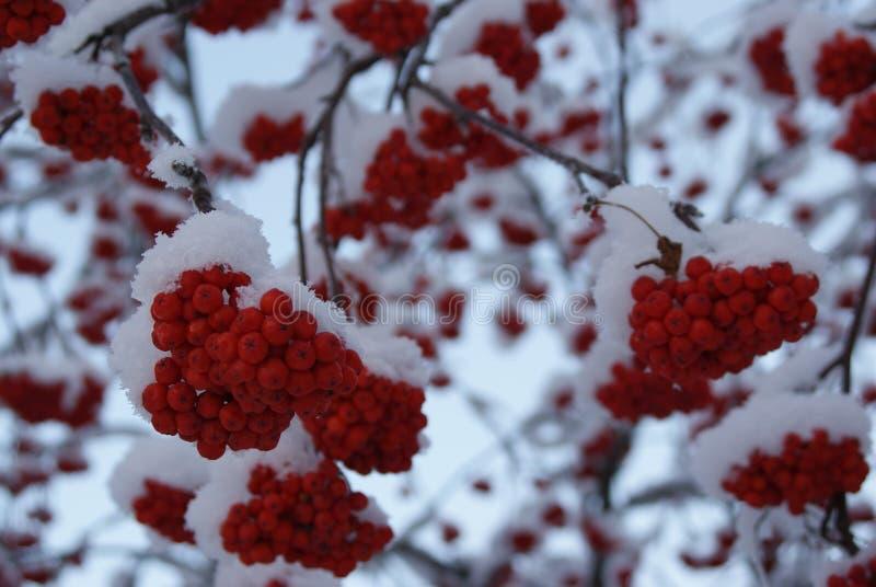 Wintervogelbeere im Dezember stockfotografie