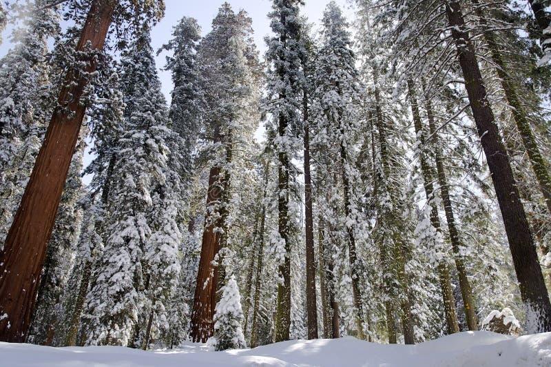 Download Winterwald stockfoto. Bild von szene, immergrün, abgedeckt - 26350788