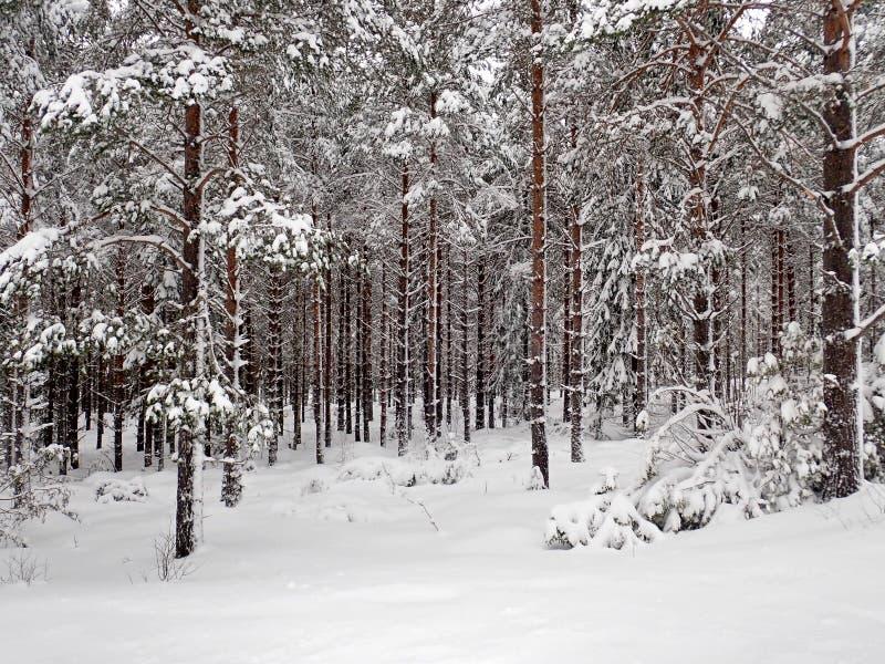 Winterwald außerhalb Hudiksvall - Swden stockbilder