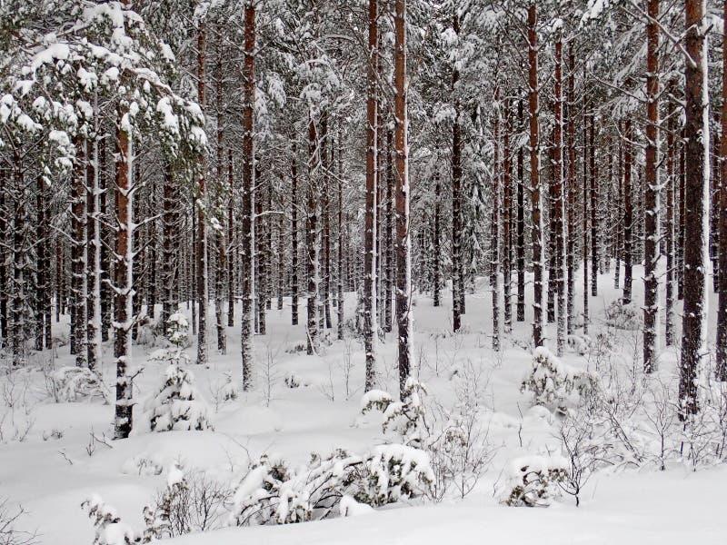 Winterwald außerhalb Hudiksvall - Swden stockbild