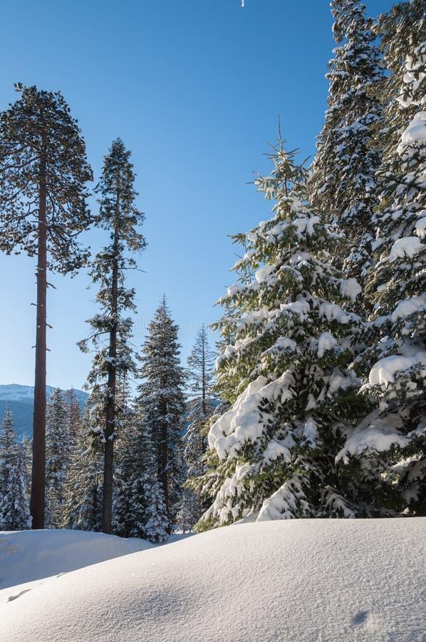 Winterwald im Sequoia-Nationalpark lizenzfreie stockfotografie