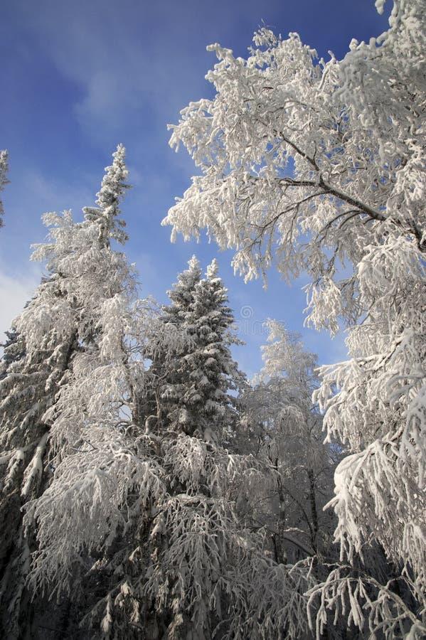 Winterwald mit Tannen- und Birkenzweigen stockfotos