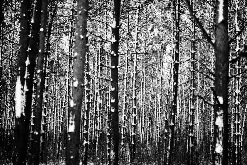 Winterwald, Weißrussland lizenzfreie stockfotografie