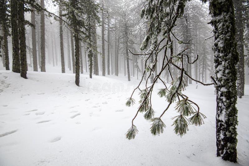 Winterwaldlandschaft mit schneebedeckten Bergen und gefrorenen Kiefernblättern lizenzfreie stockfotos