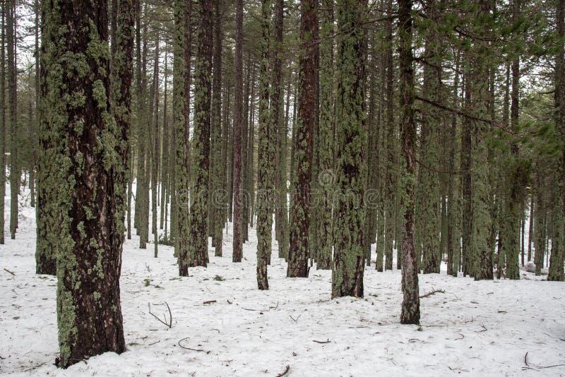 Winterwaldlandschaft mit schneebedeckten Bergen und Kiefern stockbilder