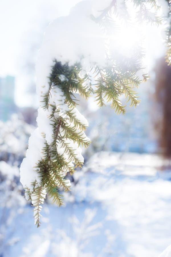 Winterweihnachtslandschaft Natürliche Weihnachtsdekorationshintergrund Grünfichtenzweige gegen weißen Schnee und Wald bei Sonnenu stockbilder