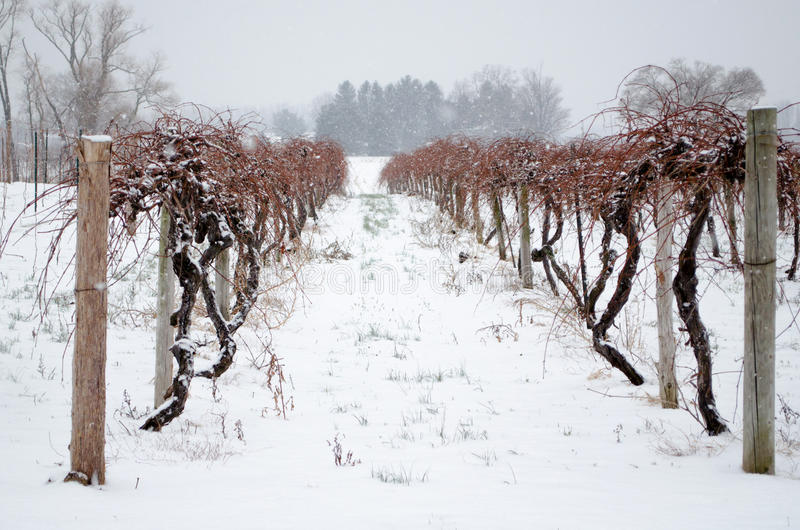 Winterweinberge stockfotografie