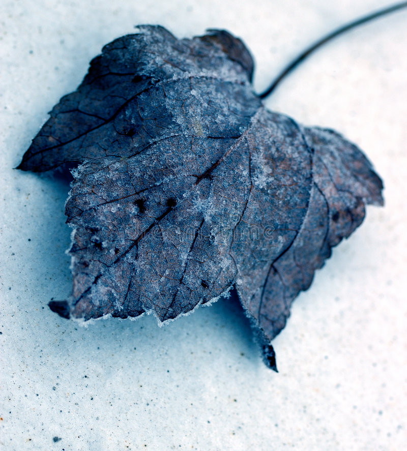 Free Wintery Leaf Royalty Free Stock Image - 129256