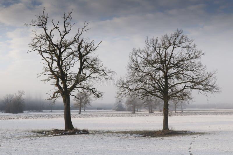 wintry liggandeoaktrees arkivfoto