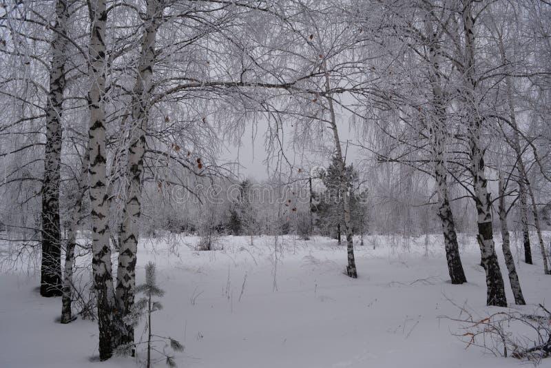 wintry plats Björktrees i snow Blandad skog i molnig vinterdag royaltyfria foton