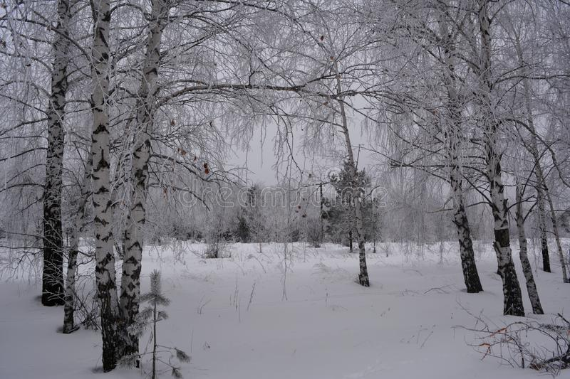 Wintry scene. Birch trees in snow. Mixed forest in cloudy winter day.  royalty free stock photos