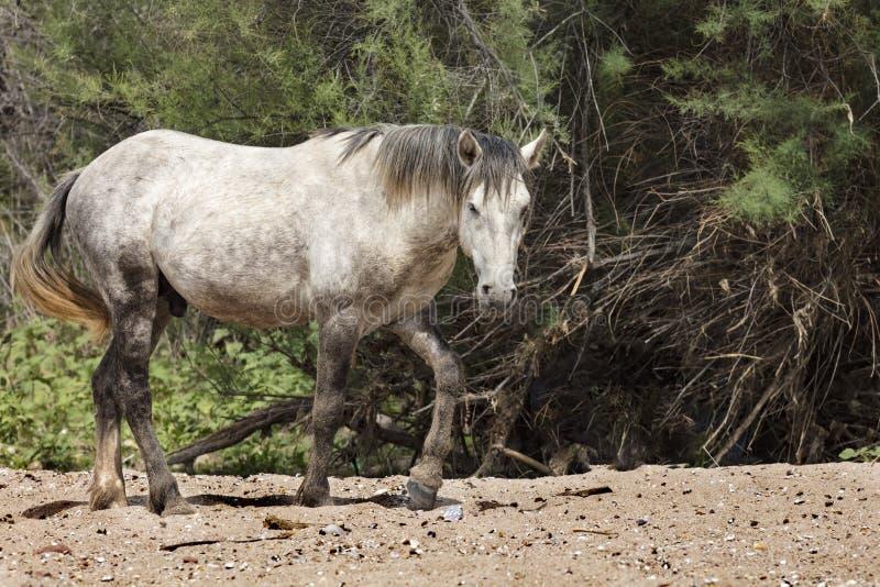 Wioldpaarden stock afbeelding