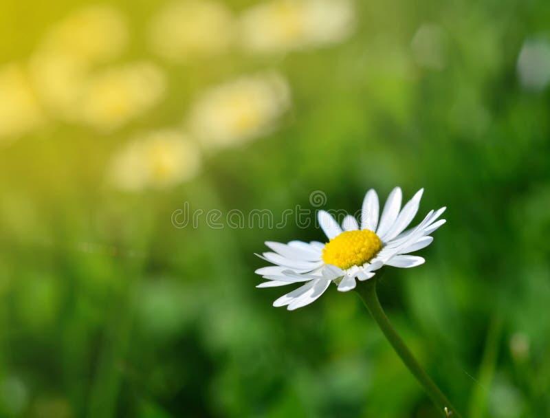 Wiosen łąkowe i białe stokrotki w romantycznym retro stylu obraz stock