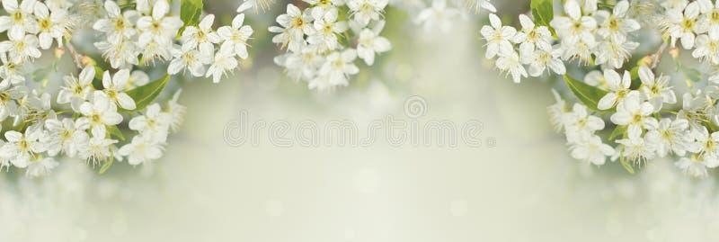 Wiosen gałąź czereśniowy drzewo z białymi kwiatami i świeżymi zielonymi liśćmi zdjęcie stock