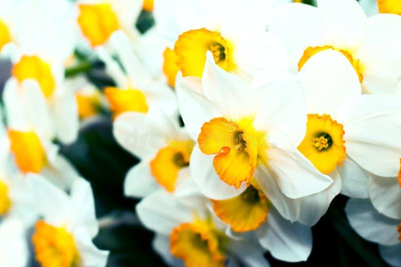 Wiosen kwitnący narcissuses, selekcyjna ostrość, tonująca Narcyza kwiatu kolor żółty, biały Narcyz L Daffodils bielu kolor żółty fotografia royalty free