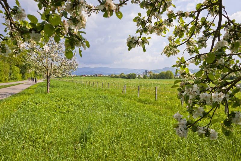 Wiosen okwitnięcia owocowi drzewa zdjęcie royalty free