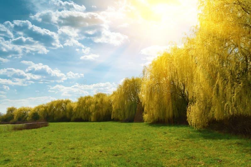 Wiosen płacze wierzbowi drzewa z światło słoneczne promieniami w parku t?o mleczy spring pe?ne meadow ? zdjęcie royalty free