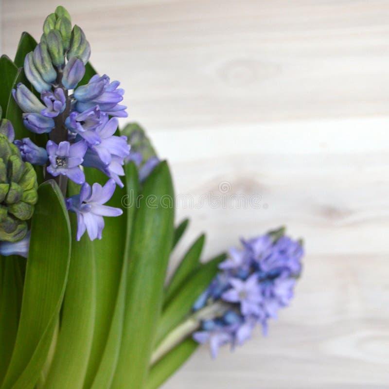 Wiosen purpur hiacynt zdjęcie royalty free