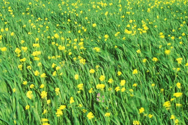 Wiosen wildflowers w wiatrze, Ojai, CA zdjęcia royalty free