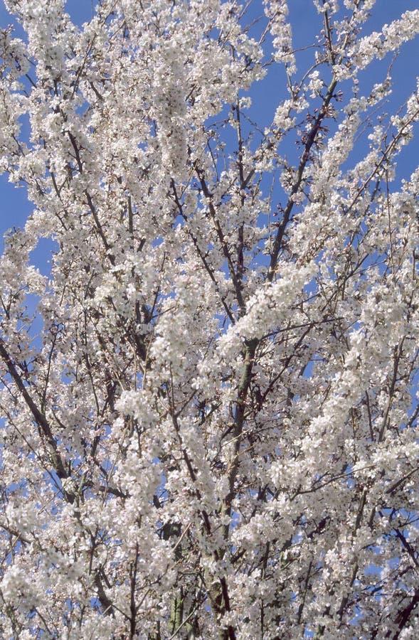 wiosenne kwiaty owoców drzewa fotografia stock
