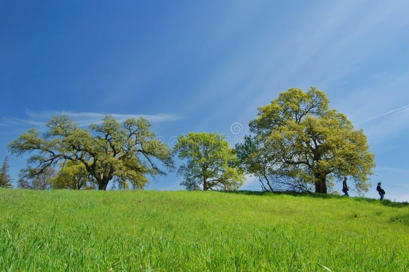 wiosenne oak drzewo obraz stock