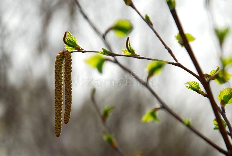 wiosenne oddziału drzewo obraz royalty free