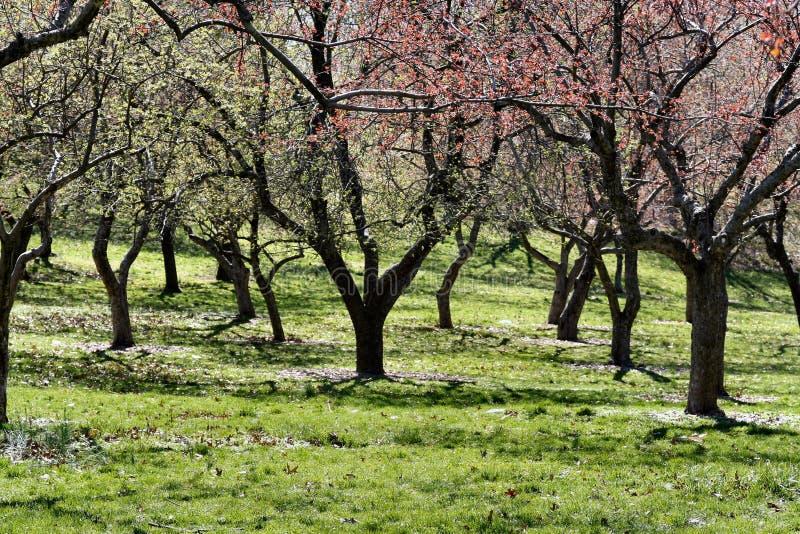 wiosenny kwiat drzewa obraz royalty free