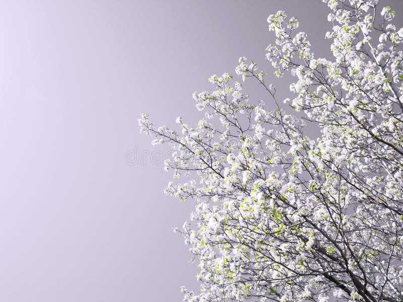 wiosenny kwiat drzewo. zdjęcia stock