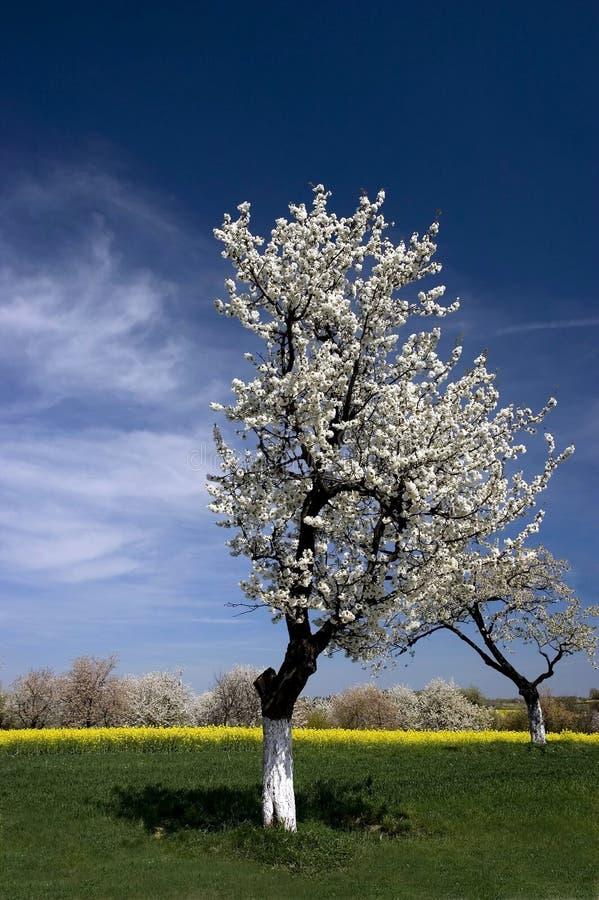 wiosenny kwiat krajobrazowi drzewa obraz stock