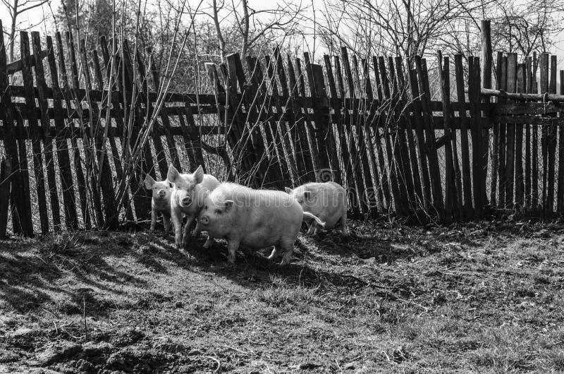 Wioska obrazek z świniami fotografia stock