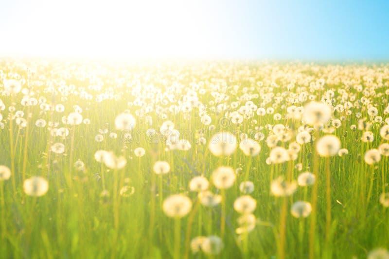 Wiosna łąkowi kwiaty na lata polu dandelion przy światła słonecznego tła wieczór nieba Pogodnym słońcem zaświecają Dandelions w ł fotografia royalty free