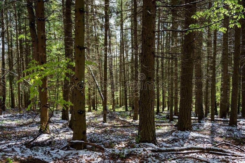 Wiosna śnieżny las fotografia royalty free