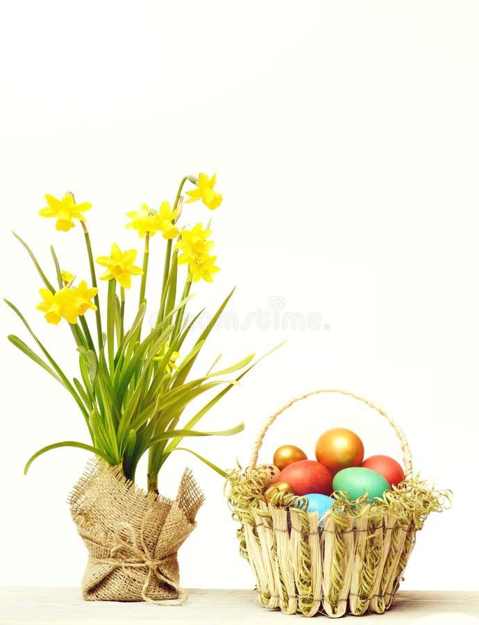 Wiosna żółty narcyz, kolorowi Easter jajka odizolowywający na bielu obraz stock