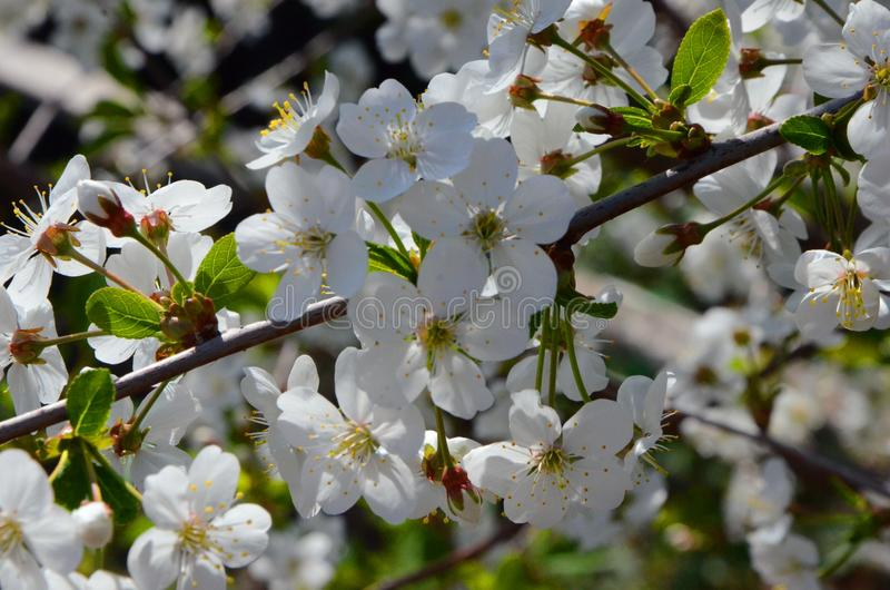 Wiosna Biali czereśniowi okwitnięcia w wiośnie uprawiają ogródek na Pogodnym wiosna dniu zdjęcia royalty free