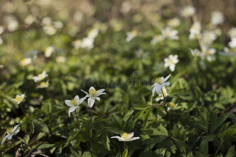 Wiosna biali kwiaty zdjęcie royalty free