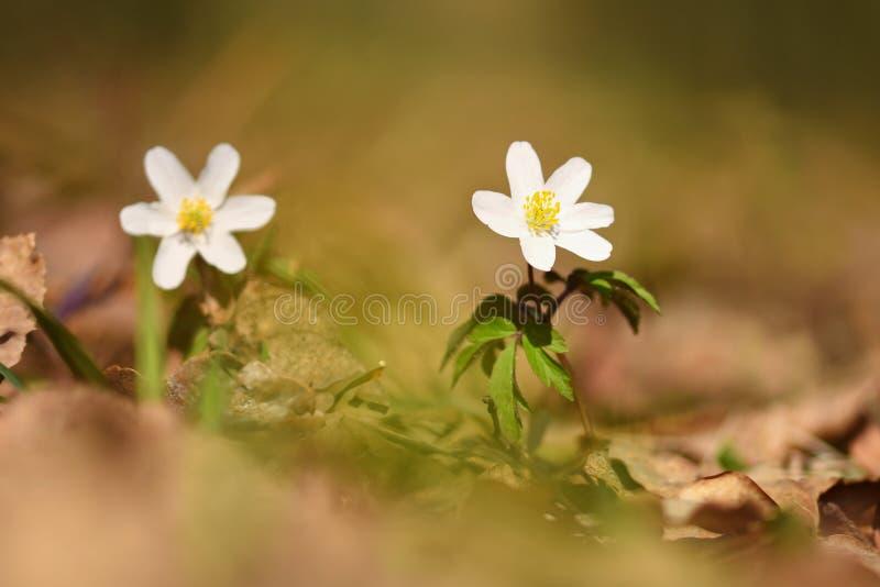 Wiosna biali kwiaty w trawy Isopyrum Anemonowych thalictroides zdjęcia stock