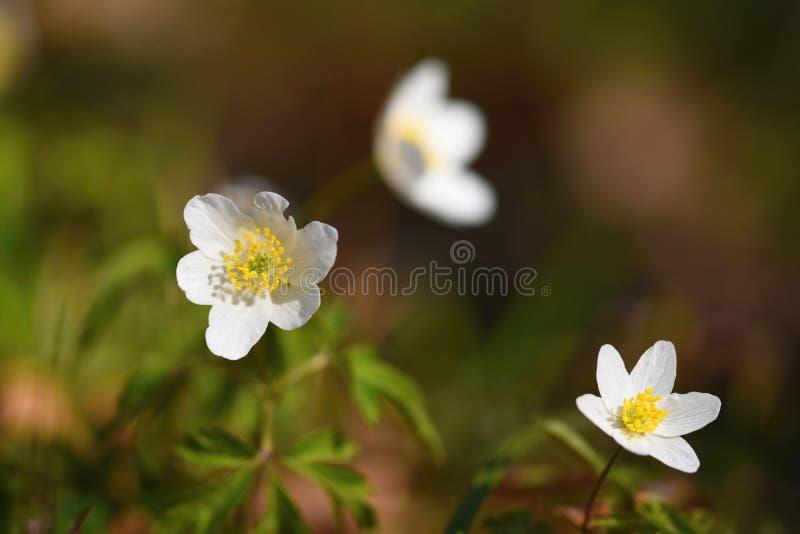 Wiosna biali kwiaty w trawy Isopyrum Anemonowych thalictroides obrazy stock