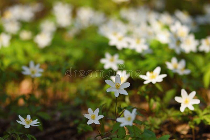 Wiosna biali kwiaty w trawy Isopyrum Anemonowych thalictroides obrazy royalty free