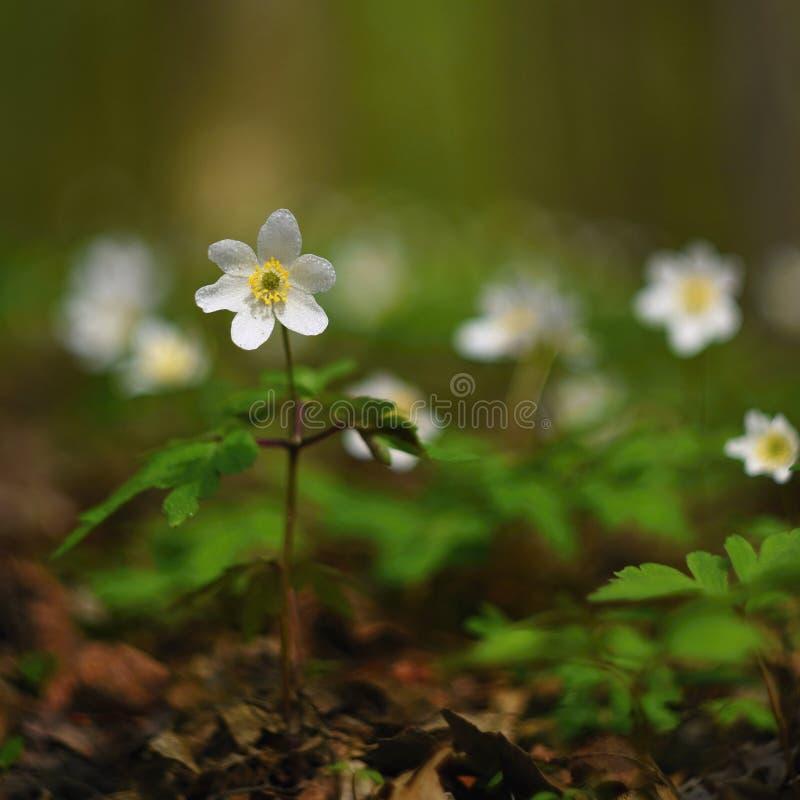 Wiosna biali kwiaty w trawy Isopyrum Anemonowych thalictroides obraz stock