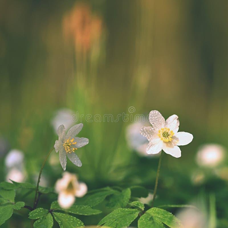 Wiosna biali kwiaty w trawy Isopyrum Anemonowych thalictroides obraz royalty free