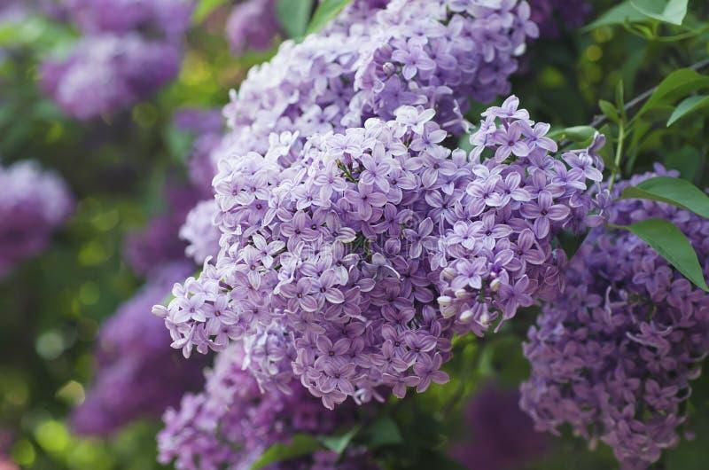 Download Wiosna bzu kwiaty zdjęcie stock. Obraz złożonej z balsamiczny - 53780848